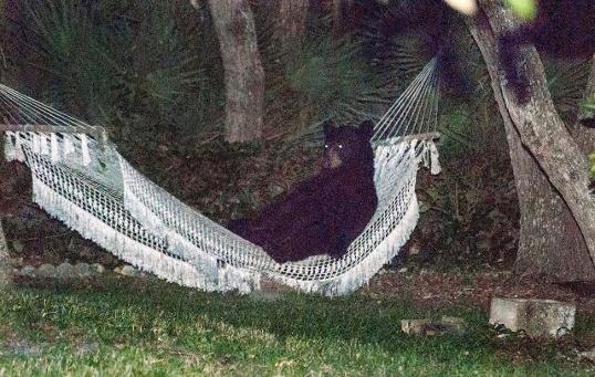 Bear in Backyard Hammock