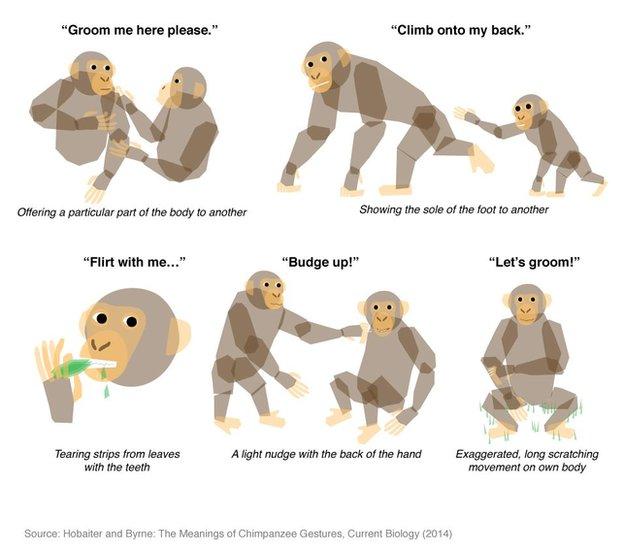 Chimpanzee Gestures Decoded