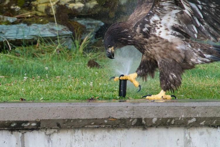 Baby Bald Eagle Discovers Sprinkler