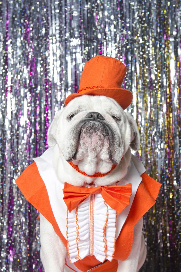 Bulldog in Orange Tux