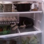 Husky Puppy Makes Herself Comfortable on a Shelf in the Refrigerator