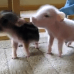 Two Teeny Tiny Teacup Piglets Attempt to Escape Their Makeshift Enclosure