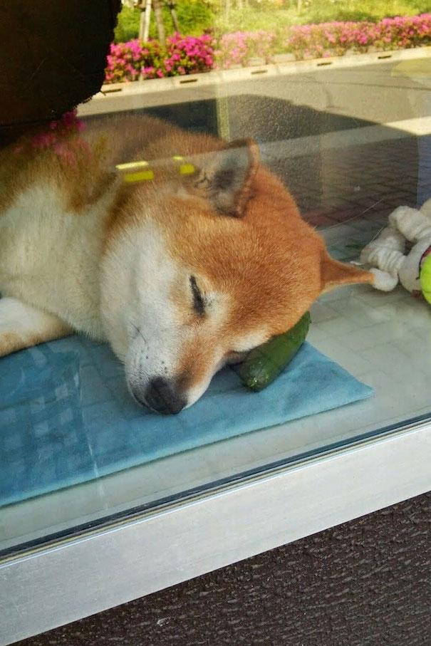 Shiba Fast Asleep