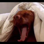 Sleepy Dog Howls Back at the Alarm Clock