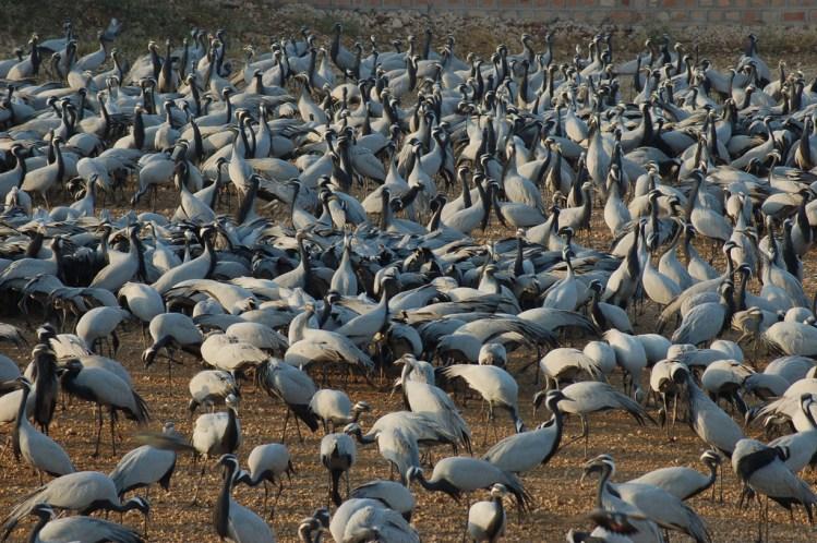 Cranes of Khichan
