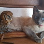 Siamese Cat and Little Owl Are the Closest of Friends and Have Been That Way For a Long Time