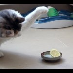 Fluffy Calico Cat Is Simultaneously Fascinated With and Offended by a Halved Lemon Sitting in a Dish