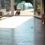 Little Dog Waits To Be Let In Through the Glass Patio Door Despite the Fact the Door Was Open