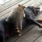 Rescued Raccoon and Frisky Coonhound Playfully Tangle With One Another on the Family Porch