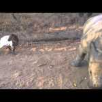 Gertjie the Orphaned Baby Rhino Adorably Tries to Imitate the Hopping Gait of His Goat Friend