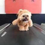 Munchkin the Shih Tzu Walks on a Treadmill While Wearing Her Famous Walking Teddy Bear Costume