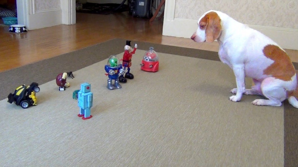 Maymo the Lemon Beagle Conquers an Advancing  Army of Robot Toys and Goes Nuts For a Bag of Ice