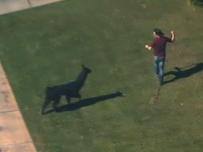 Llama in Park