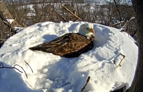 Eagle Protects Eggs Despite Heavy Snow