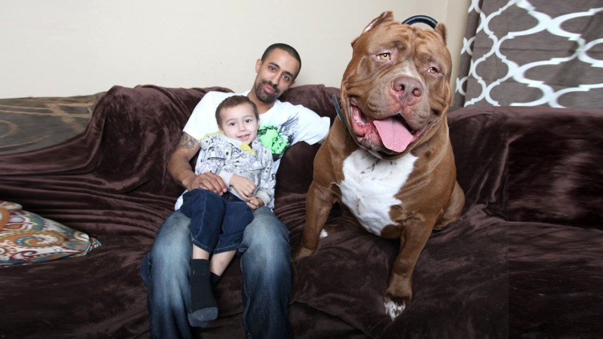 Hulk the 175-Pound Trained Pit Bull Dog Is Really Just a Pussycat When It Comes to His Family