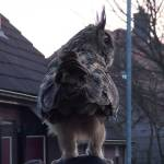 Giant Eurasian Eagle-Owl Takes Flight Off of a House and Gently Lands on a Woman's Head