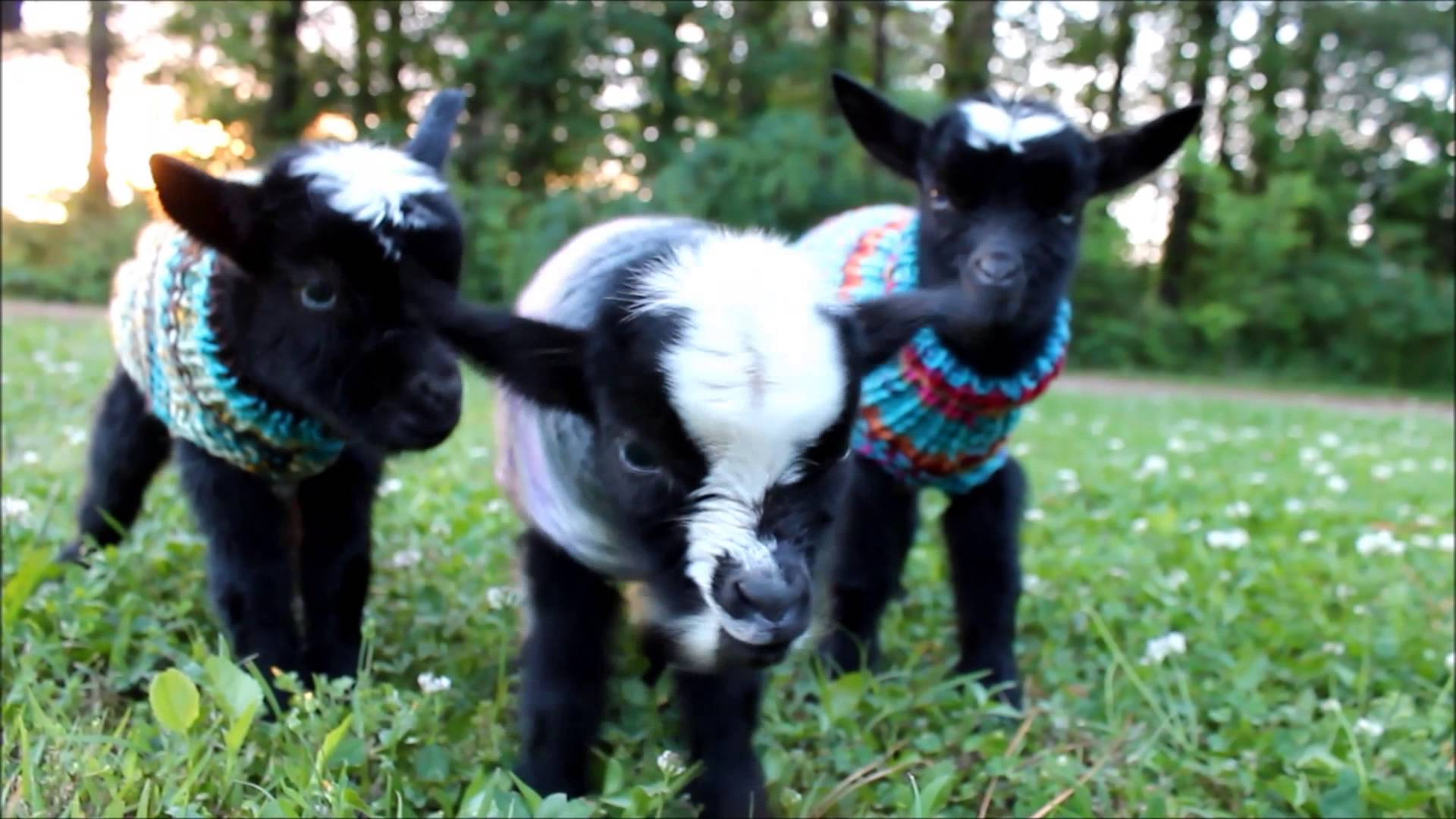 Cute Baby Whatsapp Wallpaper A Trio Of Newborn Baby Goats Stay Warm On A Chilly Evening
