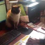 Possessive Siamese Cat Fiercely Protects a Computer Mouse From Human Hands