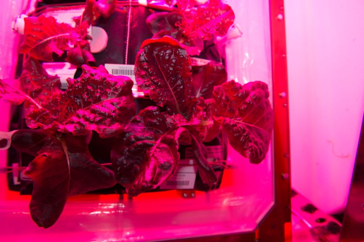 Space Grown Red Lettuce