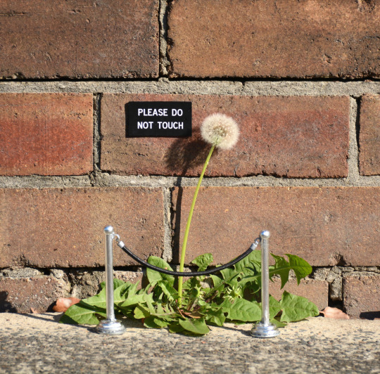 Please Do Not Touch Dandelion