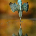 Persistent Photographer Captures the Perfect Shot of a Diving Kingfisher Bird After 6 Years of Trying