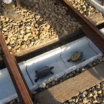 Japanese Railroad Partners With Aquarium to Create Safe Passage for Turtles Crossing the Tracks