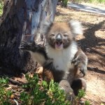 Young Koala Joey Has Herself a Good Long Cry After a Big Bully Throws Her Out of Her Tree