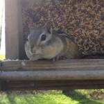 Guilty Chipmunk Willingly Spits Out the Seeds He Stole From a Backyard Bird Feeder When Questioned