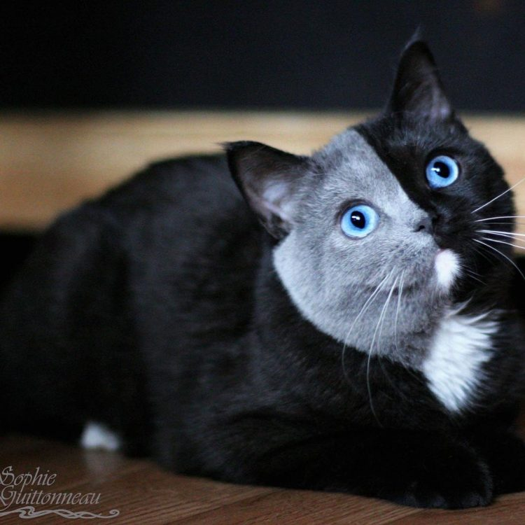 Cute Little Gray Cat For Wallpaper A Beautiful Cat Whose Face Is Perfectly Divided By Black