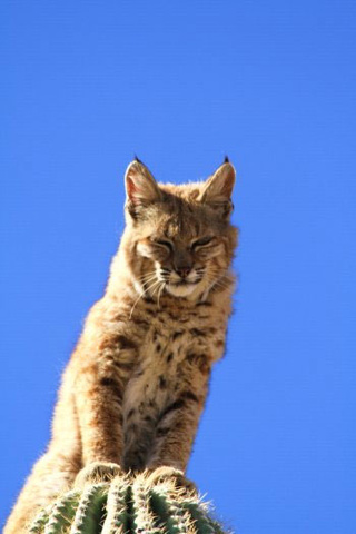 Bobcat on a Cactus by Curt Fonger