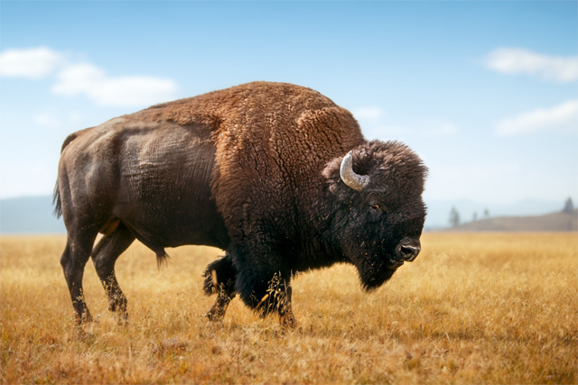 Bison - USA Roadtrip - photo by Mike Matas