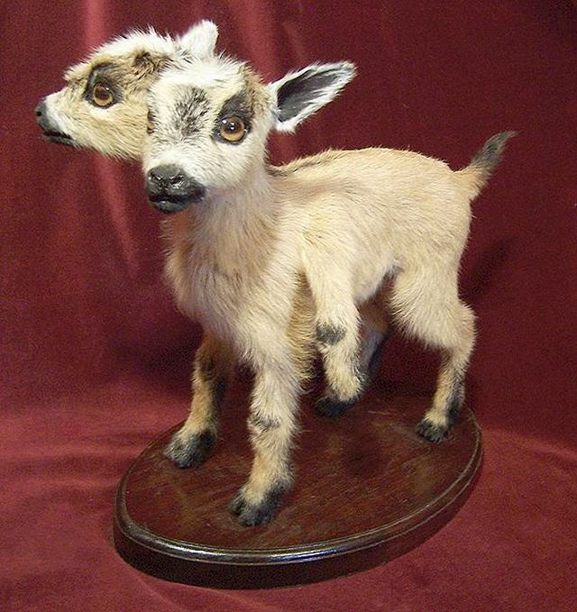 Goat by Sarina Brewer