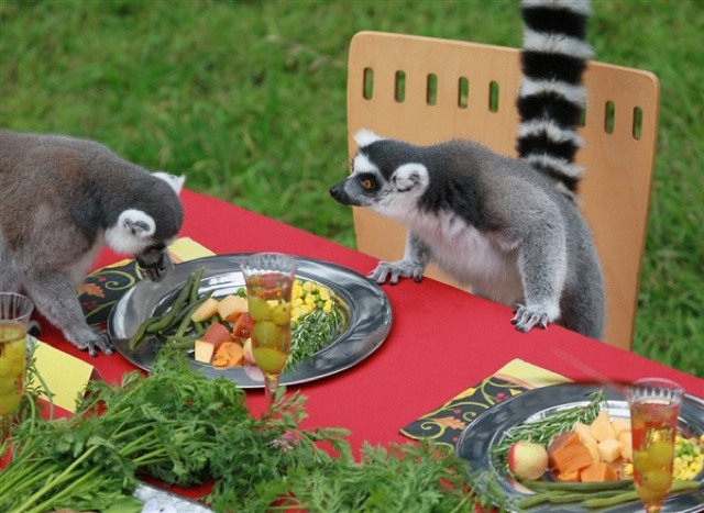 Cute Thanksgiving Wallpaper Cat A Thanksgiving Feast For Lemurs At The San Francisco Zoo
