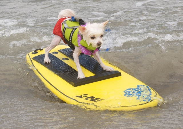 surfing-dog