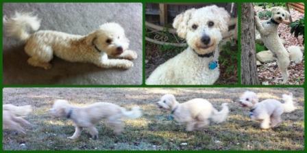Dexter the bichon poodle