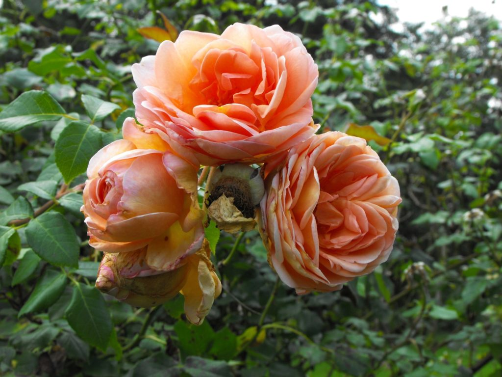 Alister Stella Grey Rose Ten Best Climbing Roses For Your Garden