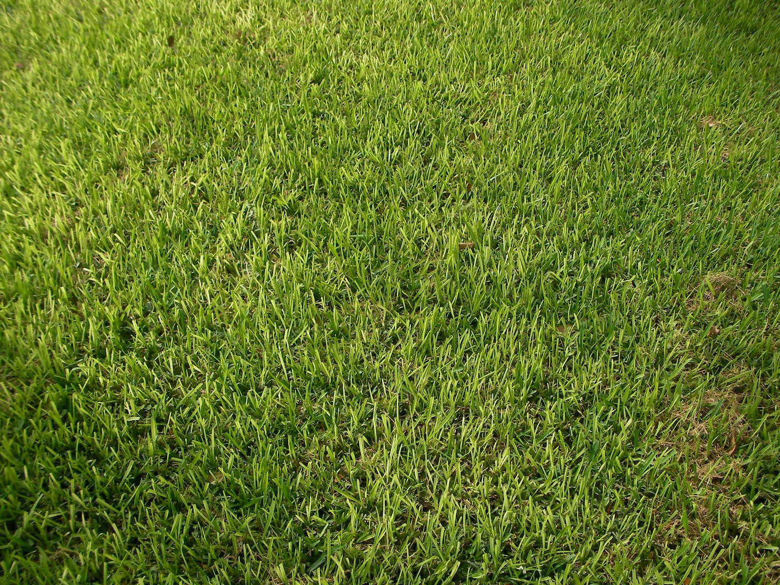 Fullsize Of St Augustine Grass Seed