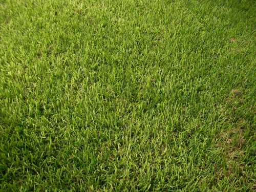 Medium Of St Augustine Grass Seed