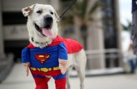 SuperMan Dog Costume - Lazyop