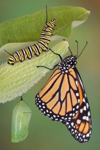 Monarch caterpillar, chrysalis and butterfly image.