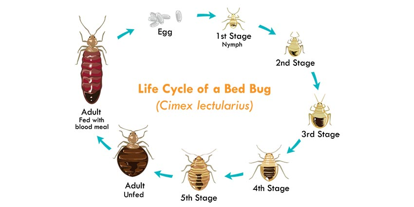The Life Cycle of Bed Bugs - Allergy  Air