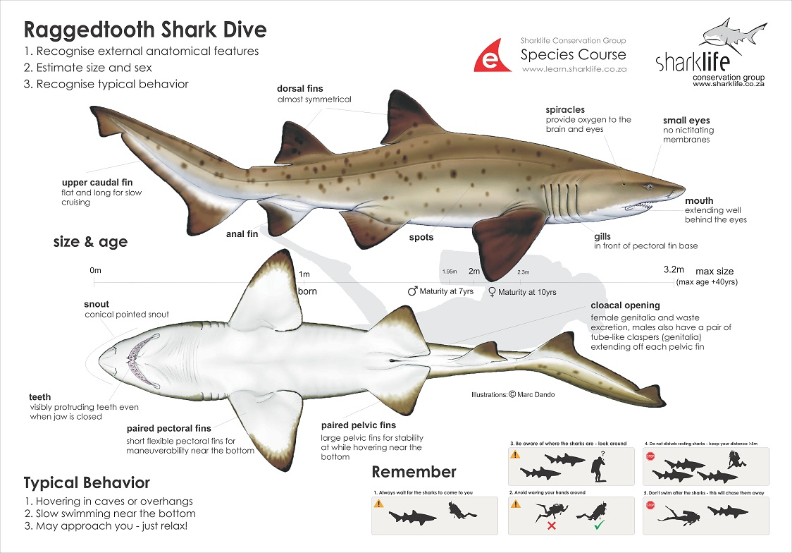 Tiger Shark Diagram Briefing Bannners Ragged Tooth Shark Banner