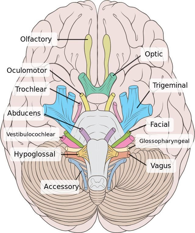 The 12 pairs of cranial nerves (list and image) Learner trip