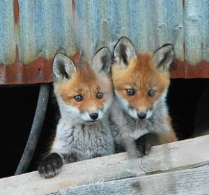 Japanese-reading-little-foxes