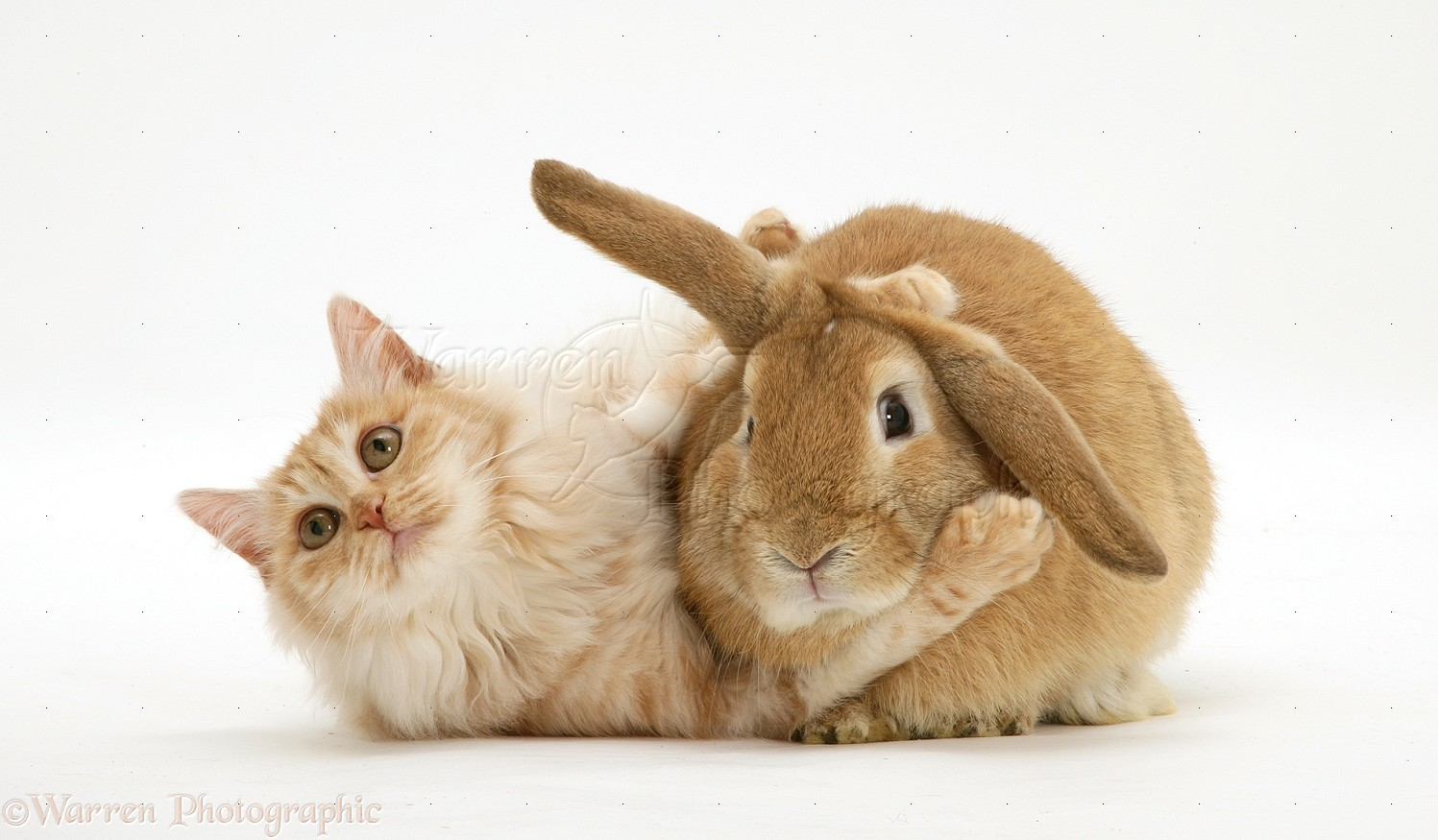 Cute White Baby Rabbits Wallpapers Bunny And Cat Photographsat And Sandy Lop Rabbit Home