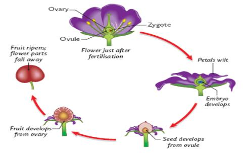 Which Part Of The Flower Becomes The Seed Flowers Ideas