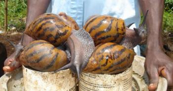 giant-african-snail-10