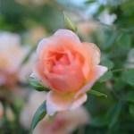 Lee-Ann-Torrans-Noisette-Shrub-Rose-Crepuscule