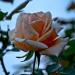 Lee-Ann-Torrans-Texas-Roses-Winter-Sunset-7