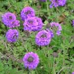 Purple Texas Verbenna